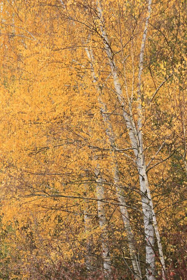 Birken im Herbst lizenzfreie stockfotografie
