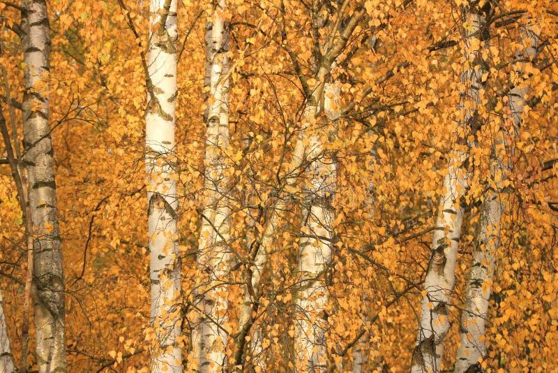 Birken im Herbst stockbilder