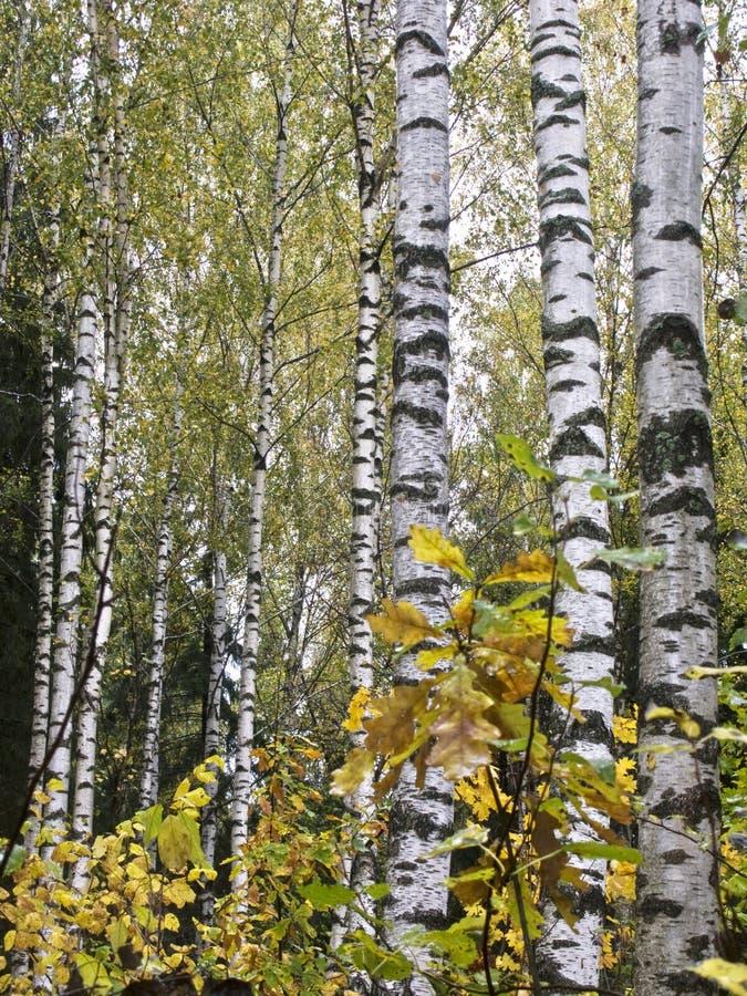 Birken im Herbstwald lizenzfreie stockfotos