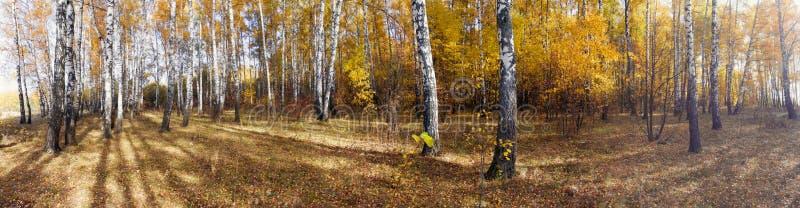 Birken im Herbstwald gegen den blauen Himmel stockfotos