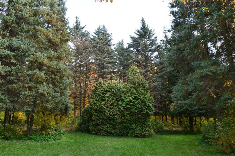 Birken mit orange Blättern stockbilder