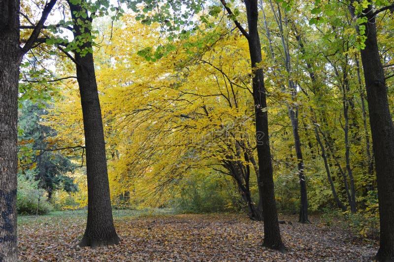 Birken mit orange Blättern lizenzfreie stockfotografie