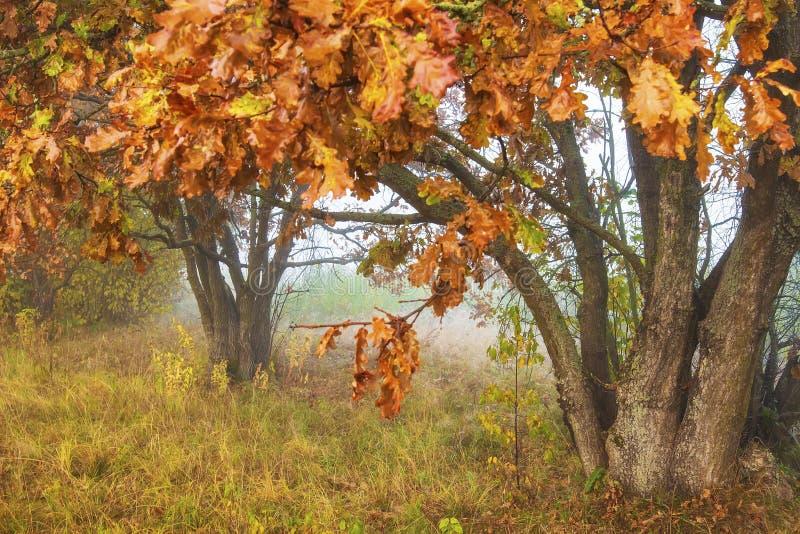 Birken mit orange Blättern Herbstliche Landschaft Fall Natürliche Szene von farbigen Bäumen Rotblätter auf Niederlassungen Apfelb stockbilder