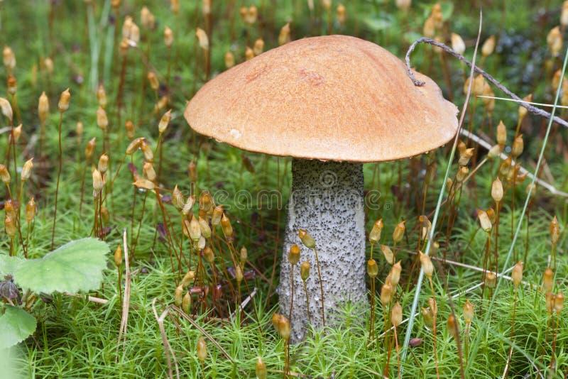 Birken-Pilz-Norwegerwaldland stockbild