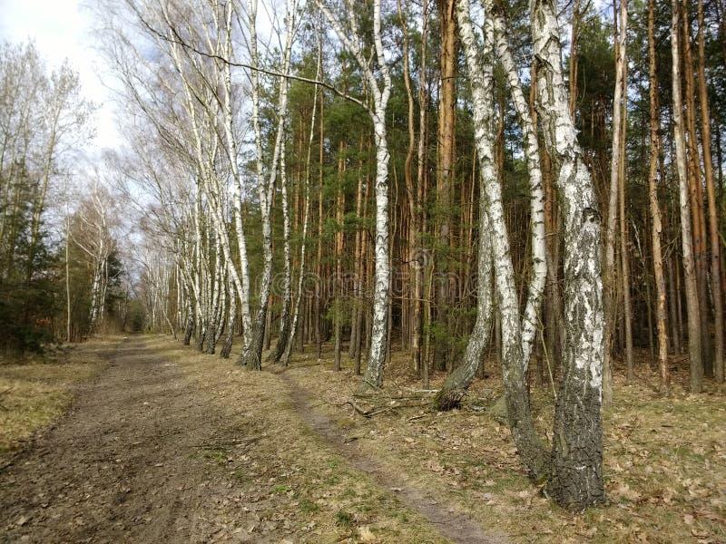 Birkenallee in einem Mischwald Polen stockfotografie