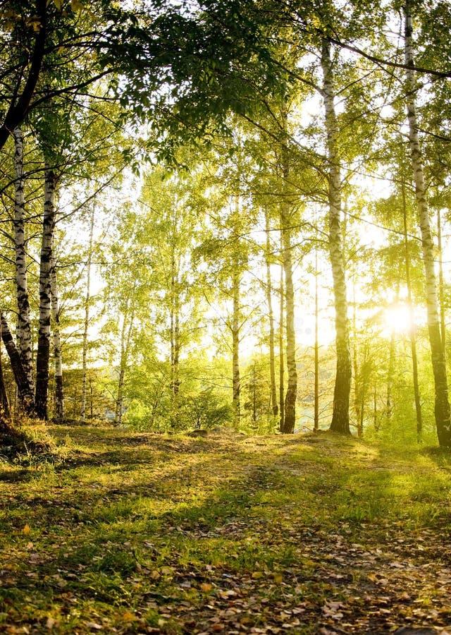 Birkenbäume in einem Herbstwald stockfotografie