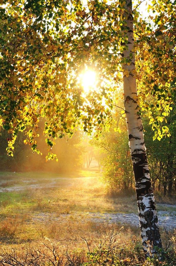 Birkenbäume in einem Sommerwald lizenzfreies stockfoto
