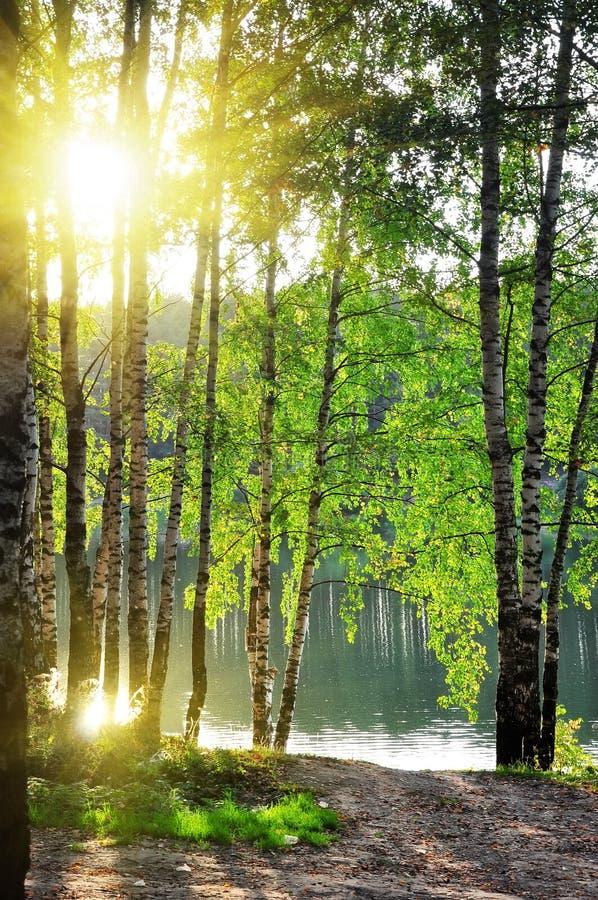 Birkenbäume in einem Sommerwald stockbild