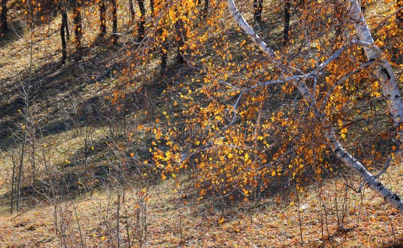 Birkenbäume im Herbst lizenzfreies stockbild