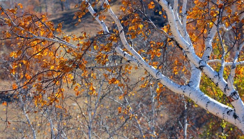 Birkenbäume im Herbst stockfotos