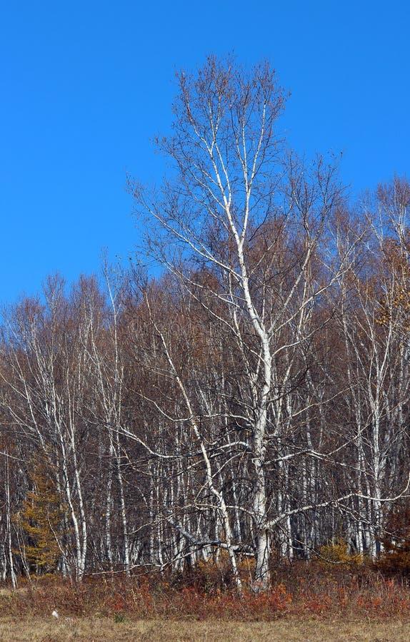 Birkenbäume im Herbst lizenzfreie stockbilder