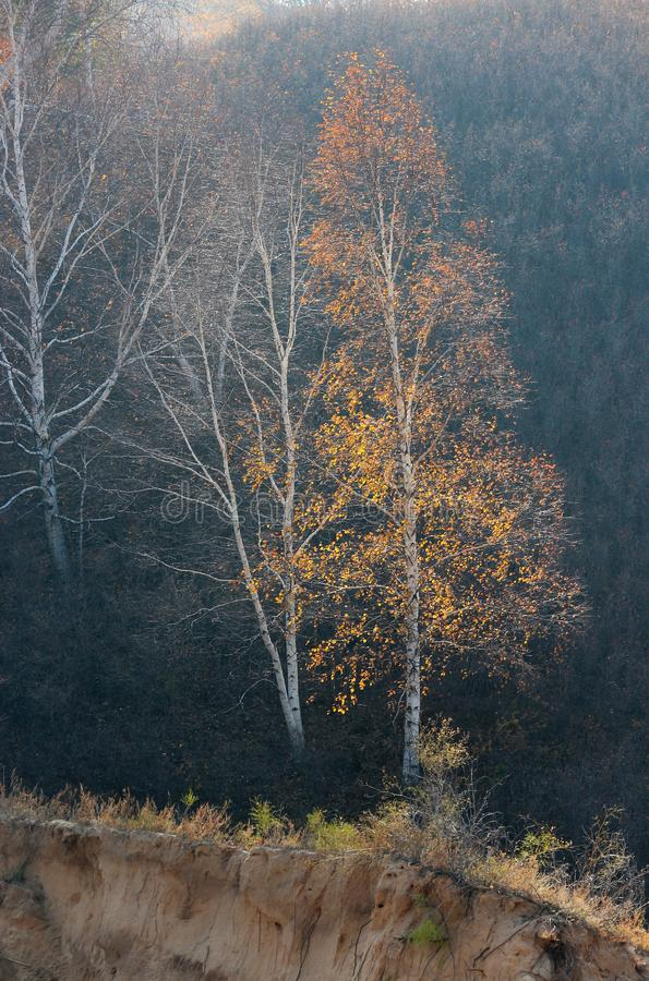 Birkenbäume im Herbst stockfotografie