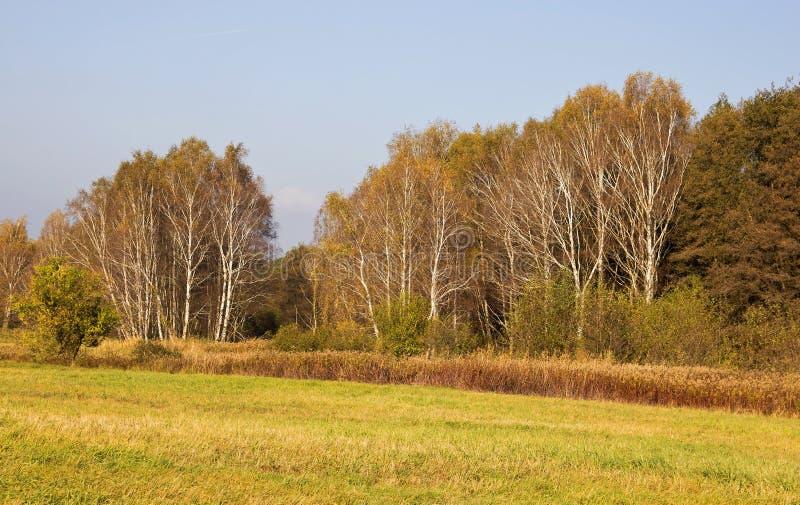 Birkenbäume im Herbst lizenzfreies stockfoto