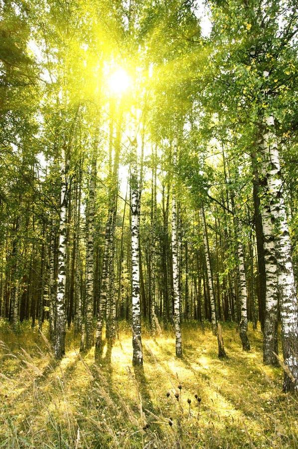 Birkenbäume im Wald lizenzfreies stockbild