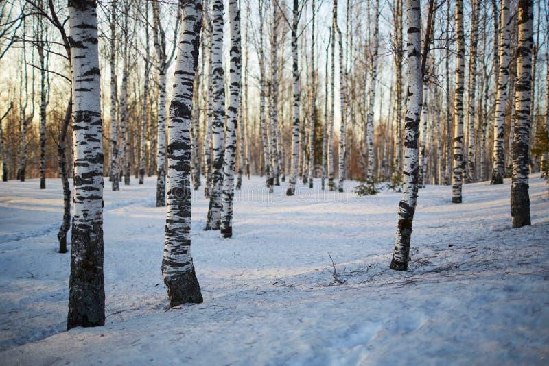 Birkenbäume im Winter stockfotos