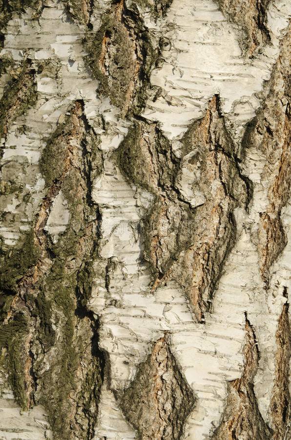 Birkenbarkebeschaffenheit stockbild