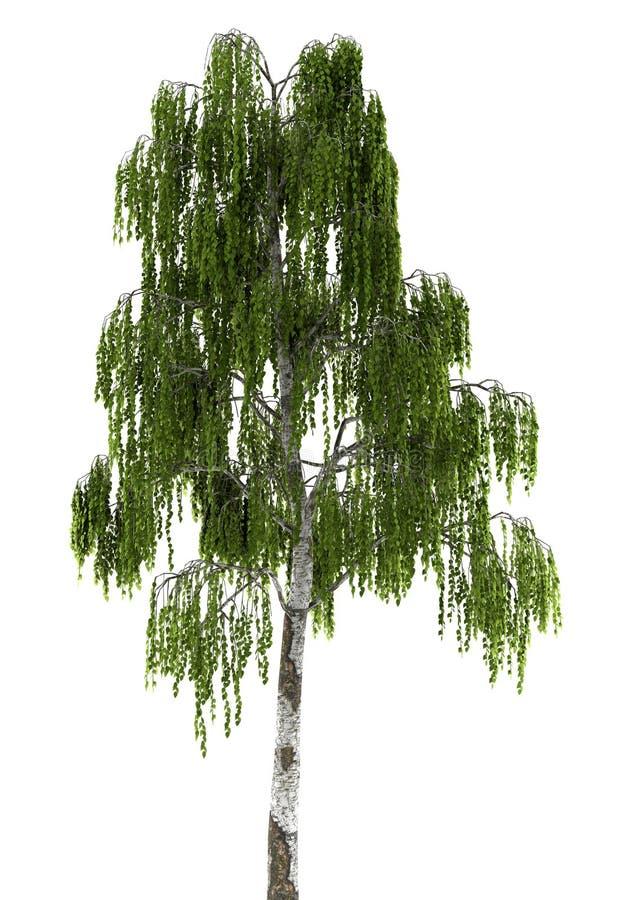 Birkenbaum getrennt auf Weiß lizenzfreie abbildung