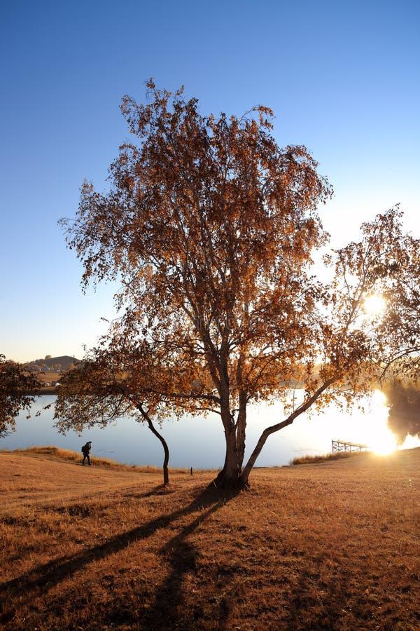 Birkenbaum im Seeufer am Herbst lizenzfreies stockfoto