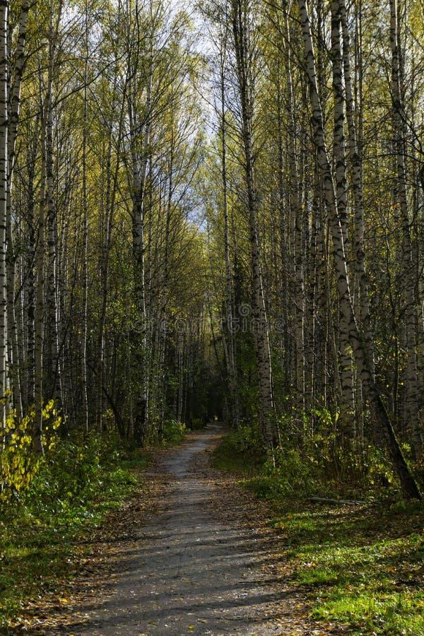 Birkengasse im Herbst lizenzfreie stockfotos