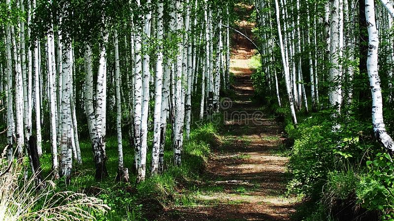 Birkengassenlandschaft Birkenwaldansicht des Tales Birkengassenszene Ansicht zwar die B?ume einer Birkengasse stockfoto