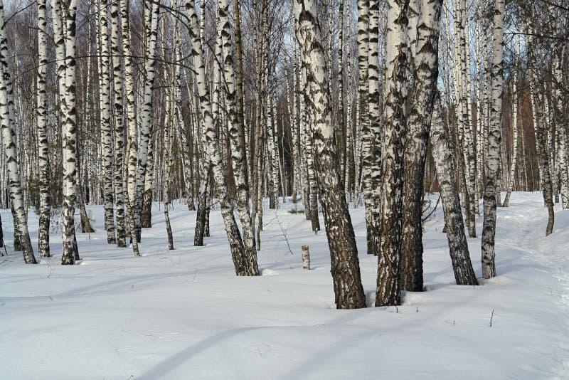 Birkenholz. lizenzfreie stockfotos