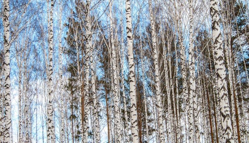 Birkenholz im Winter lizenzfreies stockbild