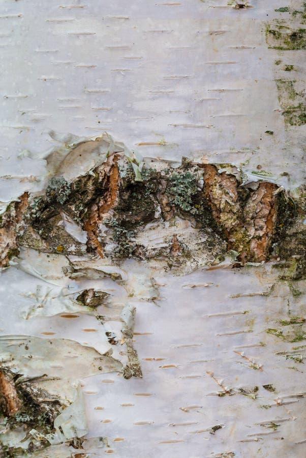 Birkenrinde, alte Barke, bellen lang lizenzfreie stockbilder