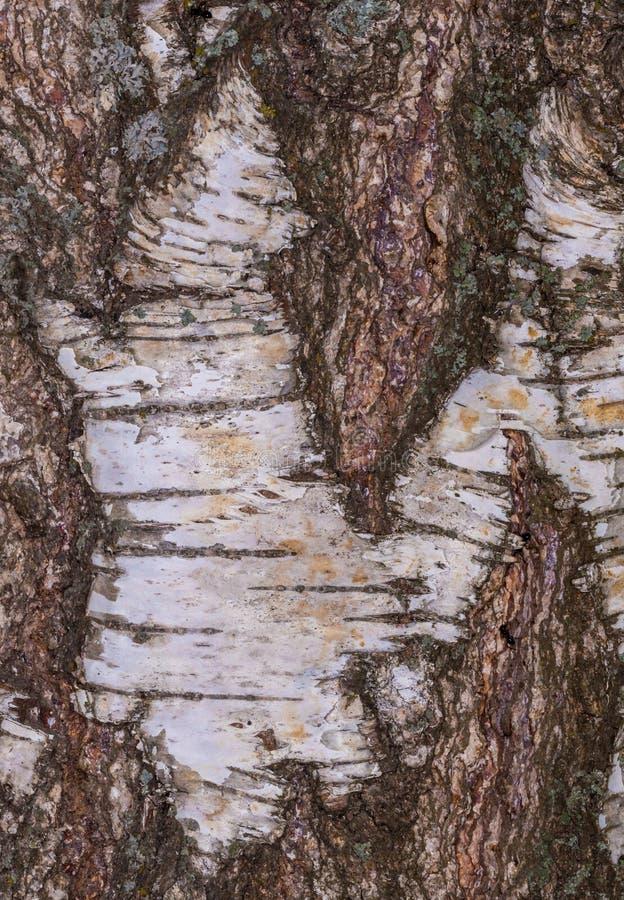 Birkenrinde, alte Barke, bellen lang lizenzfreies stockbild