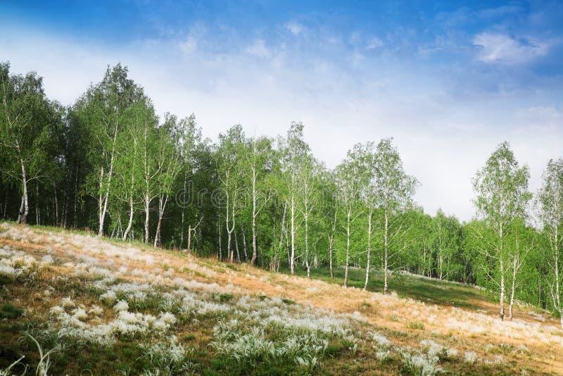 Birkenwald lizenzfreie stockfotos