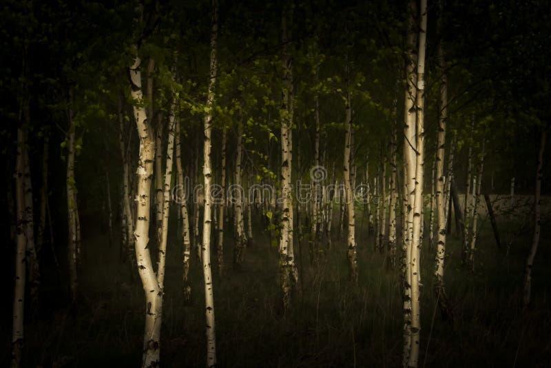 Birkenwald stockfotos