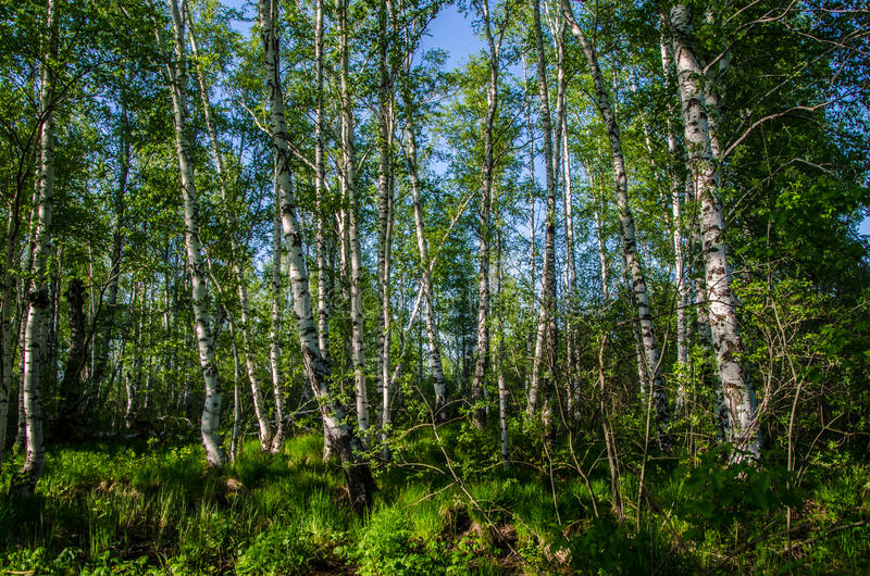 Birkenwald bedeckt mit grünem Laub stockfotografie