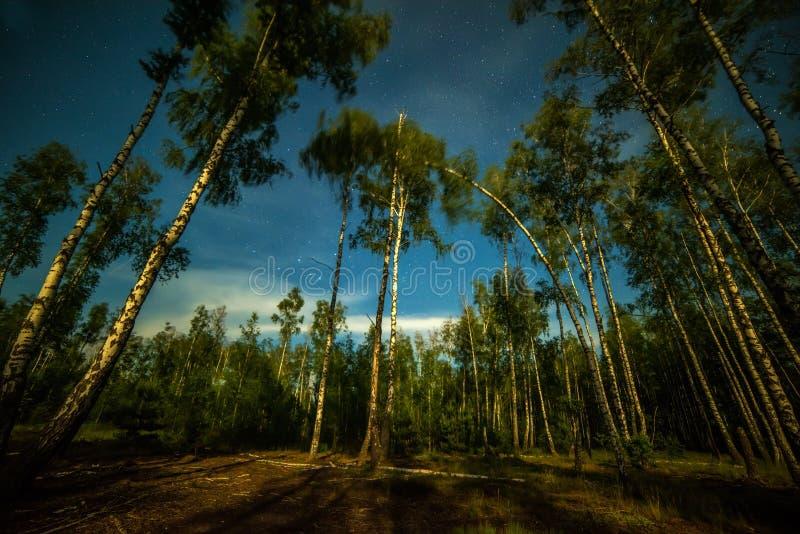 Birkenwald nachts belichtet durch das Licht des Mondes stockfoto