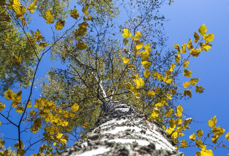 Birkenwaldsommerlandschaft Ansicht von der Unterseite aufwärts lizenzfreie stockfotografie