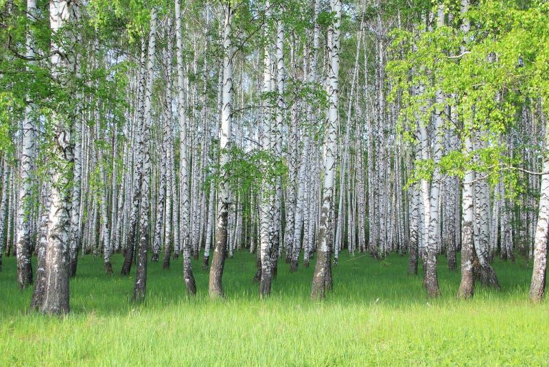 Birkenwaldung lizenzfreie stockfotos