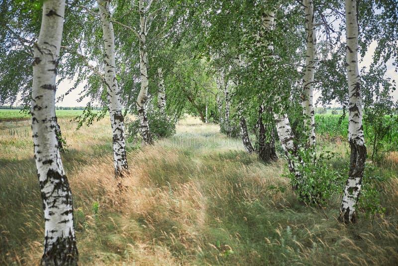 Birkenwaldung auf dem Gebiet stockfoto