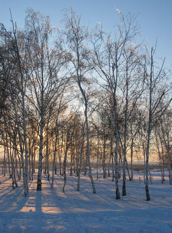 Birkenwaldung bei Sonnenuntergang stockfotografie
