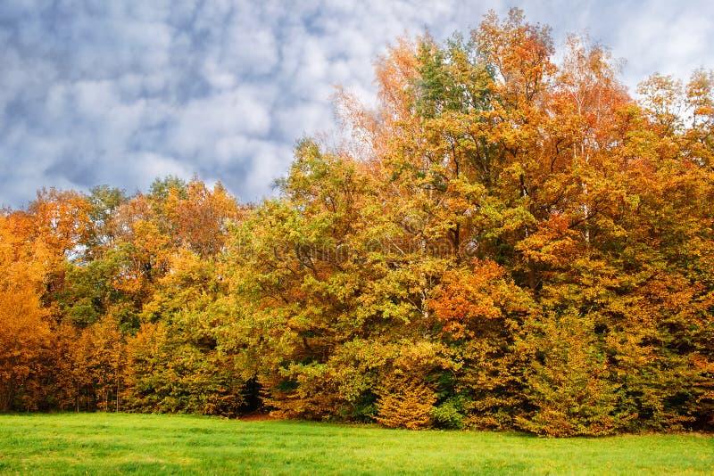 Birkenwaldung an einem Herbsttag stockbild