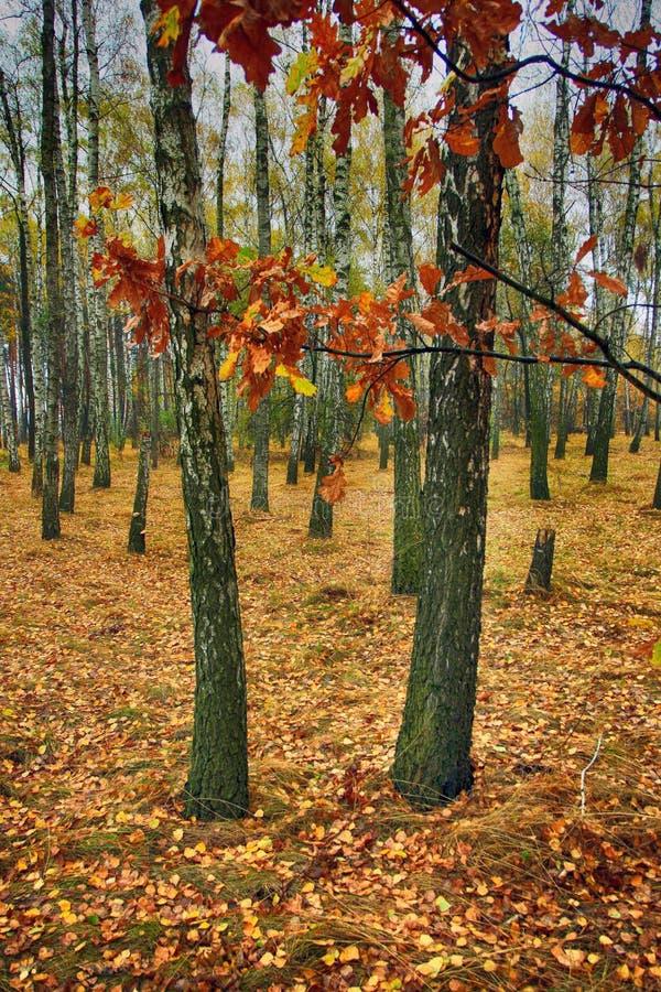 Birkenwaldung am Herbsttag lizenzfreie stockfotos