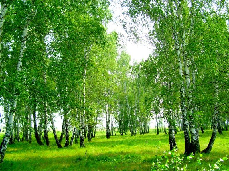Birkenwaldung im Sommer stockfotos
