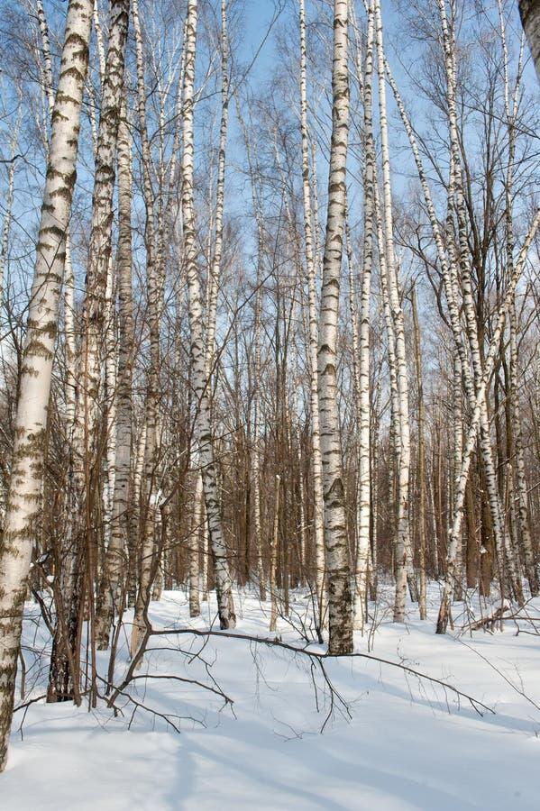 Birkenwaldung im Winter lizenzfreie stockfotos