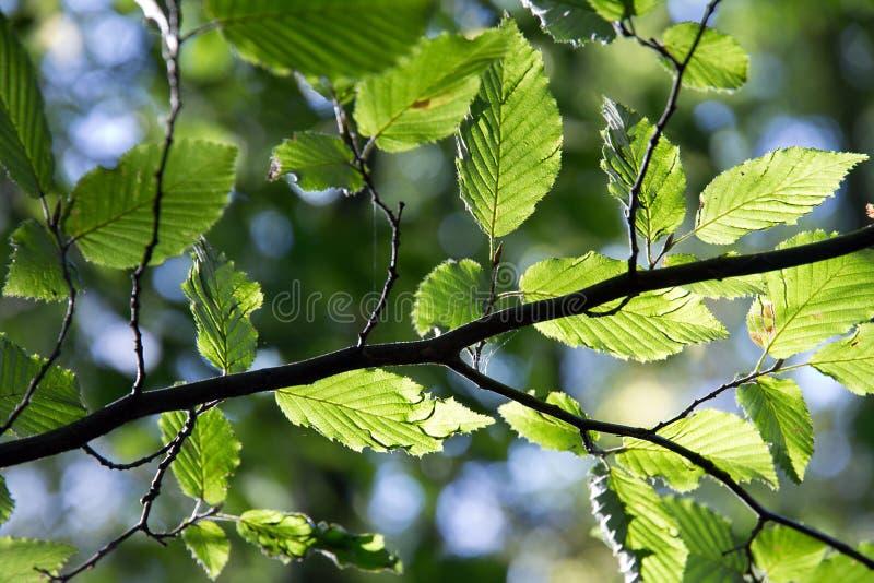 Birkenzweig mit grünen Blättern lizenzfreie stockfotografie
