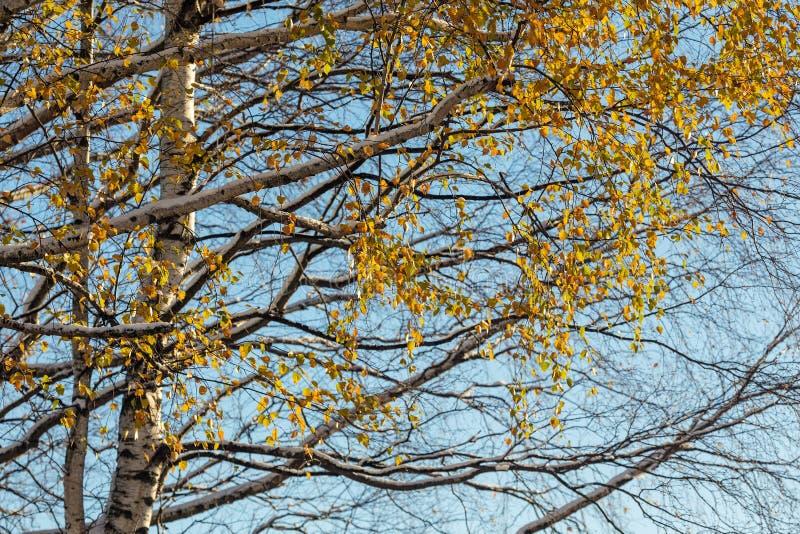 Birkenzweige mit Herbstlaub lizenzfreies stockfoto