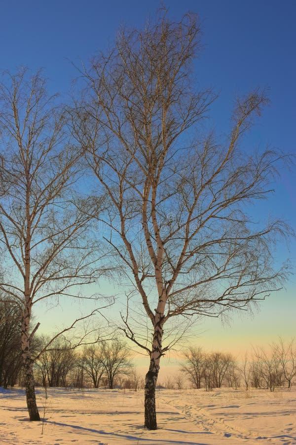 Birkenzweige und blauer Himmel 2 stockbild