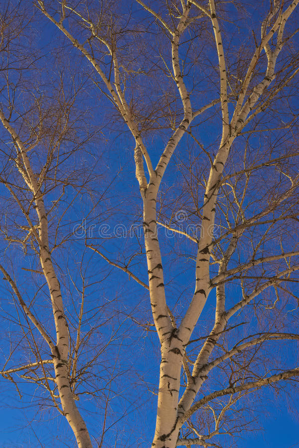 Birkenzweige und blauer Himmel lizenzfreie stockbilder