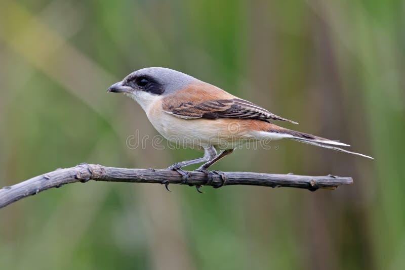 Birmańscy dzierzby Lanius collurioides ptaki Tajlandia zdjęcia stock