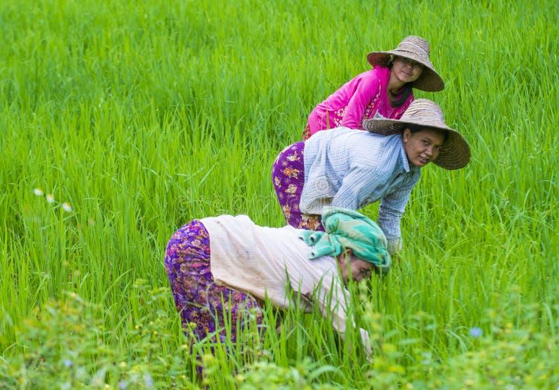 Birmańscy rolnicy przy ryżu polem zdjęcia royalty free