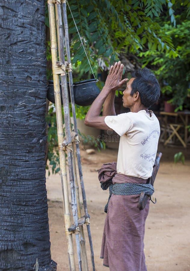Birmański średniorolny pięcie drzewko palmowe zdjęcie stock
