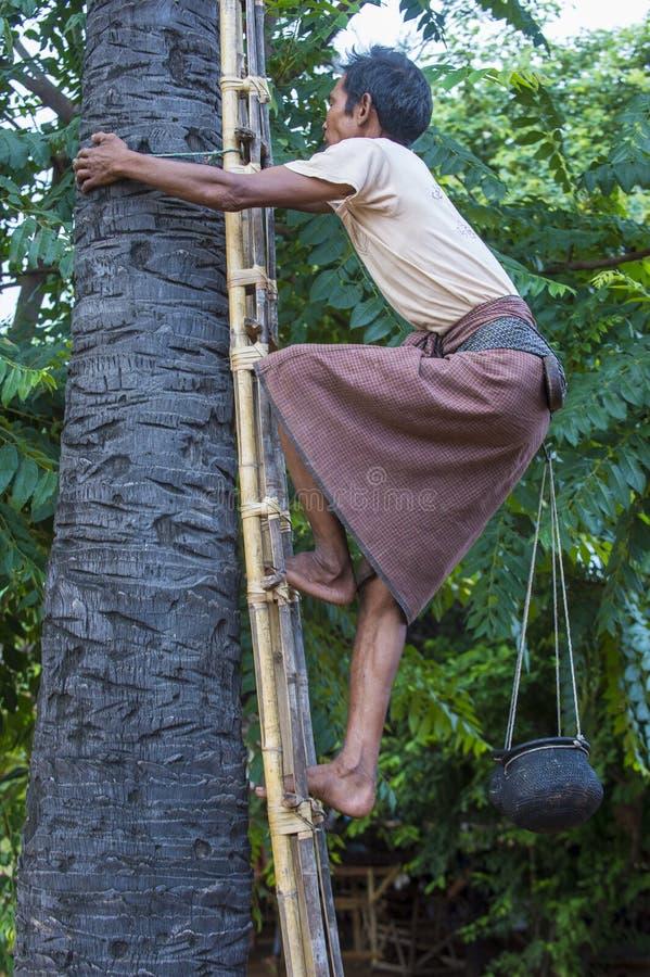 Birmański średniorolny pięcie drzewko palmowe obrazy stock