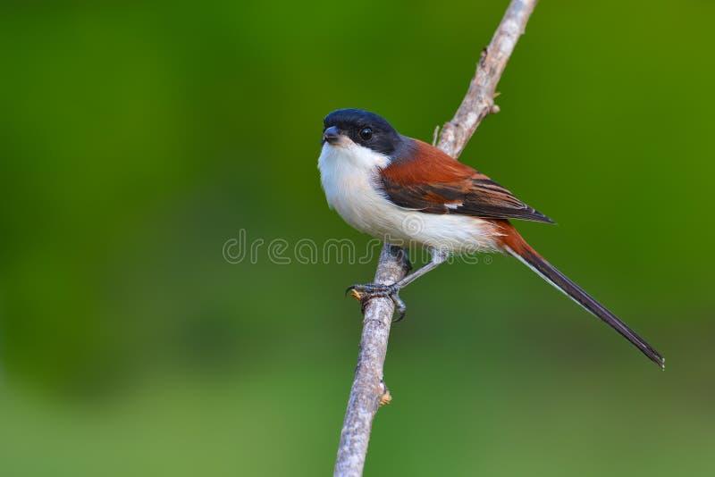 Birmański dzierzba ptak fotografia royalty free