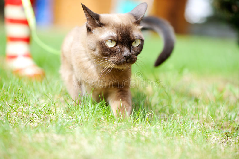 Birmańskiego kota odprowadzenie na zielonej trawie obrazy stock